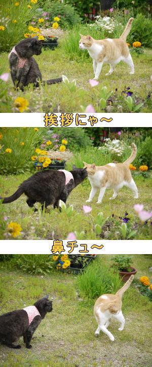 茶トラ白猫♂