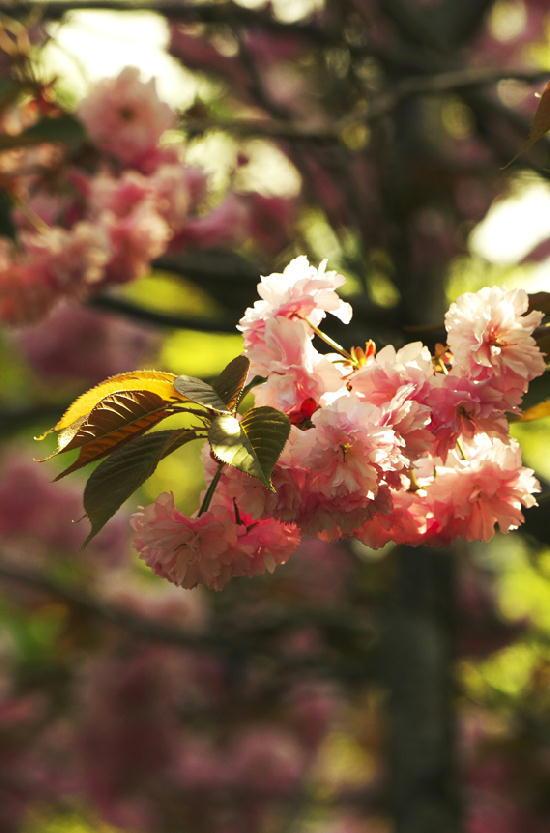 八重桜-482