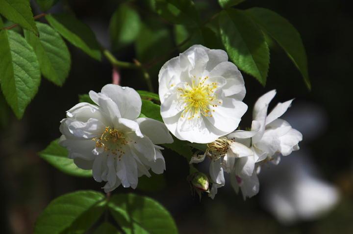 薔薇-686