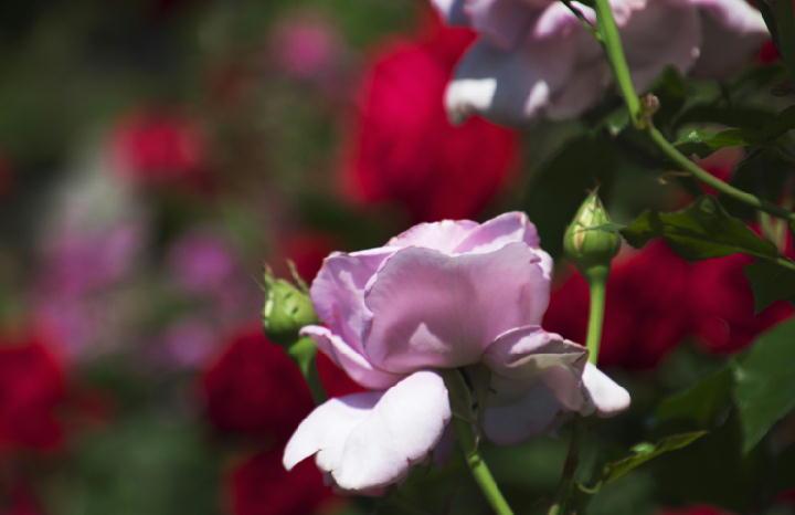 薔薇-677