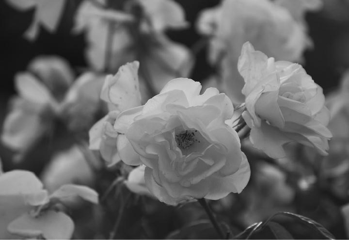 白薔薇-749-1