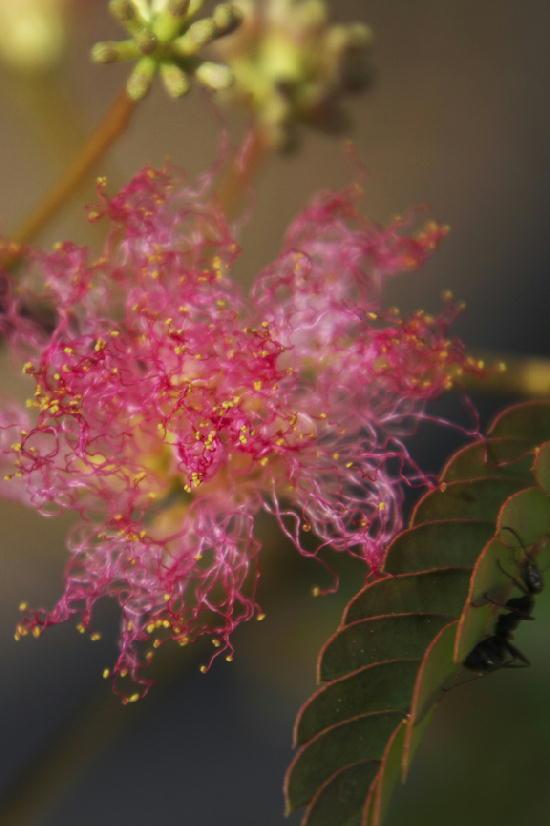 合歓の花-110