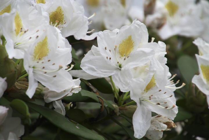石楠花-867