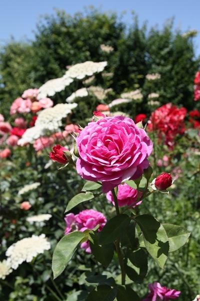 大きいバラ
