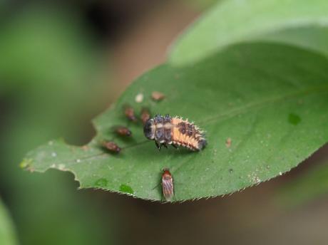 ノミバエの一種&ナミテントウ蛹化2