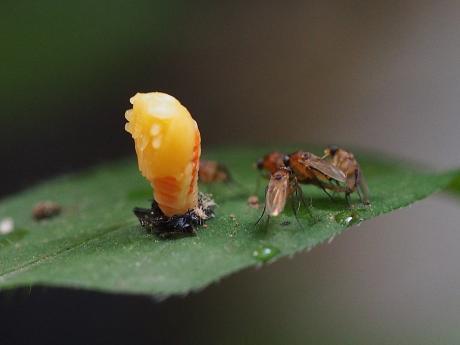 ノミバエの一種&ナミテントウ蛹化24