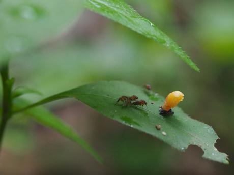 ノミバエの一種&ナミテントウ蛹化26