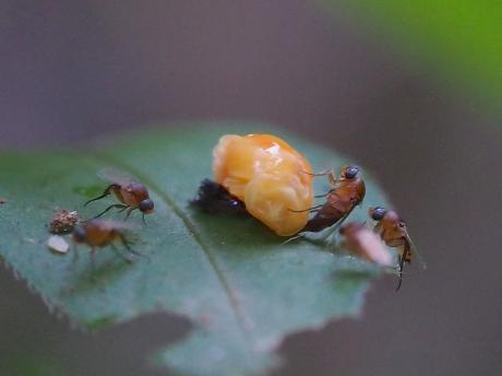 ノミバエの一種&ナミテントウ蛹化28