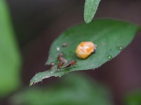 ノミバエの一種&ナミテントウ蛹化29