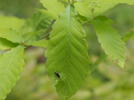 ナカボソタマムシの一種3