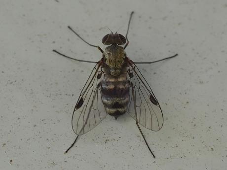 シギアブ科Chrysopilus属の一種