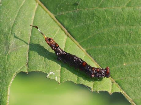 ギンモンカギバ幼虫2