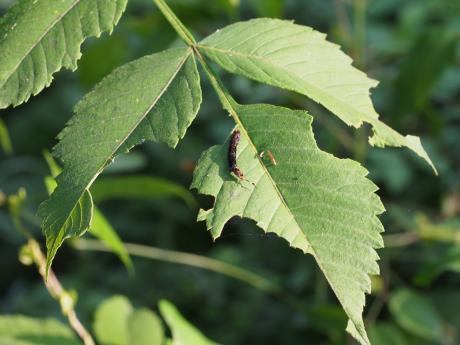 ギンモンカギバ幼虫3