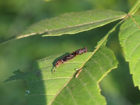 ギンモンカギバ幼虫4