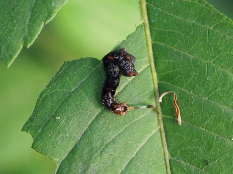 ギンモンカギバ幼虫5