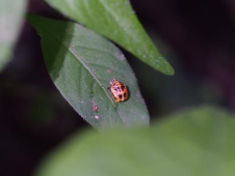 ノミバエの一種に寄生されたナナホシテントウ蛹