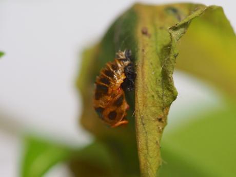 寄生ノミバエに産卵されたナミテントウ蛹
