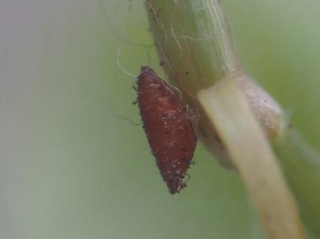 寄生ノミバエ蛹