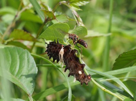 ジャコウアゲハ幼虫&コアシナガバチ
