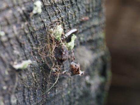 ハネナガウンカの一種・幼虫5