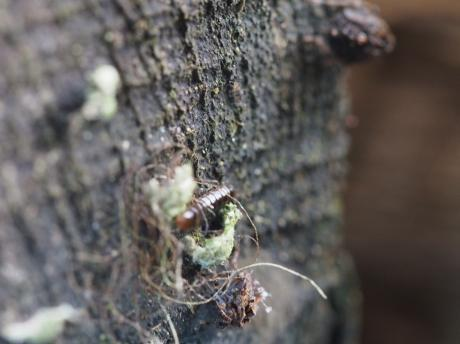 ハネナガウンカの一種・幼虫7
