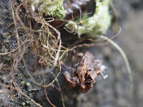 ハネナガウンカの一種・幼虫8