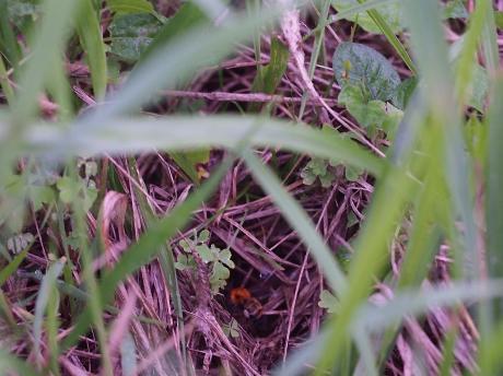 トラマルハナバチ巣