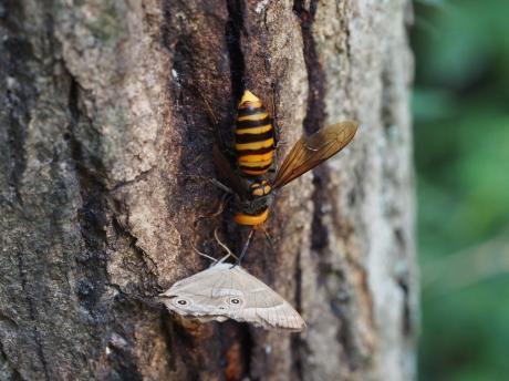 オオスズメバチ&スズメバチネジレバネか