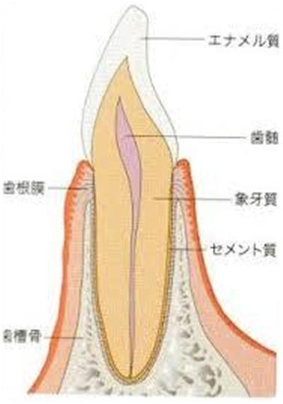 犬歯の断面図