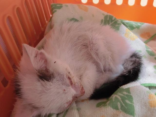 ノミだらけ白子猫 20170621 005
