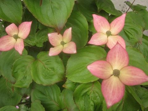 ヤマボウシ赤花