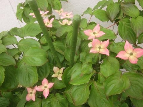 ヤマボウシ・ピンク花