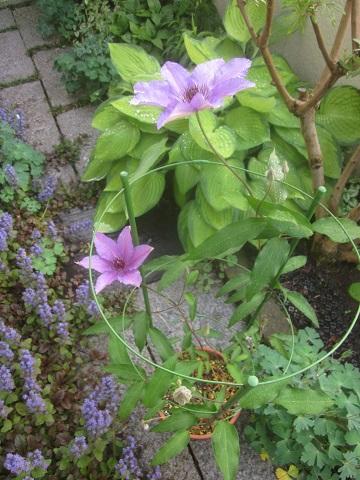クレマチス紫花・大きい花の品種