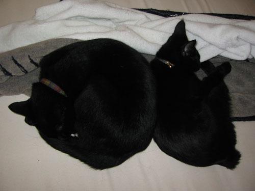 黒猫 巻き貝