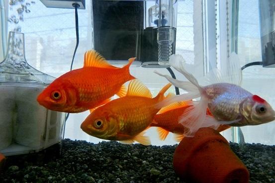 四匹の金魚