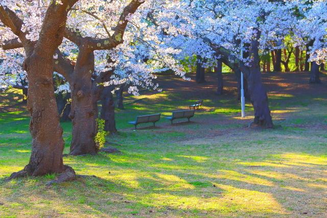 野木和桜4