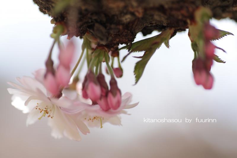 ふうりん2 10月桜