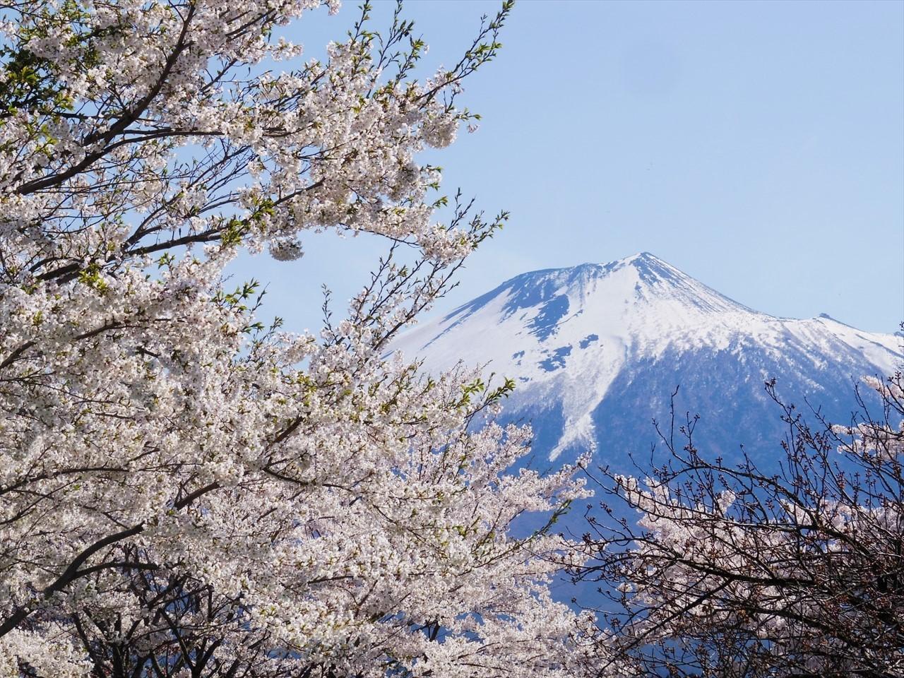 しのへさんの岩手山桜