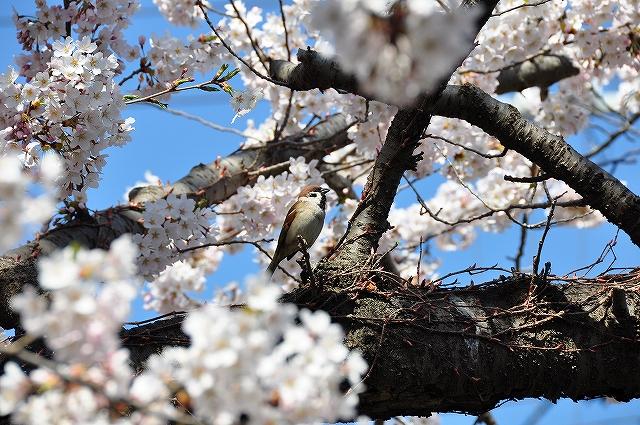 かつゆうさんのすずめ桜