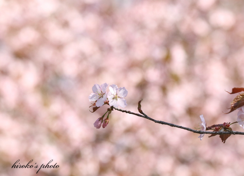058 桜0001署名入りedited