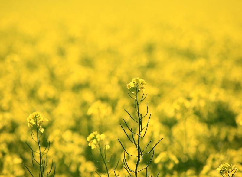 030 菜の花畑0001
