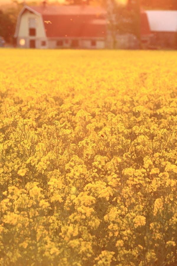114 ひまわり畑の夕景0001