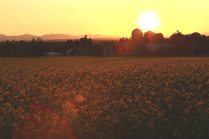 136 ひまわり畑の夕景0001