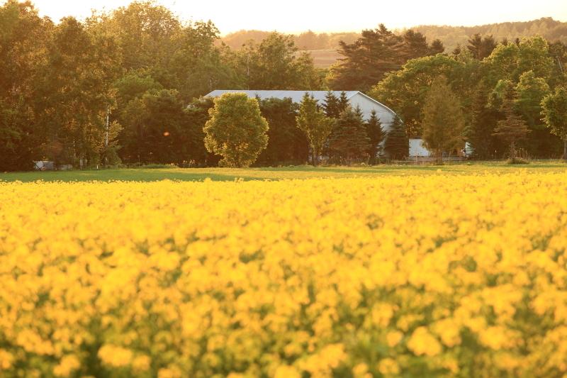 099 ひまわり畑の夕景0001