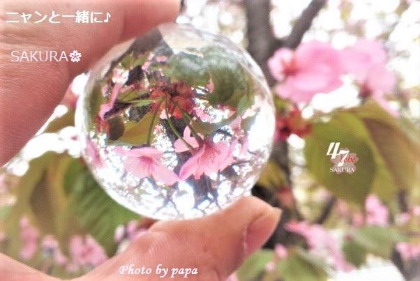 sakurapapacb2 (2)