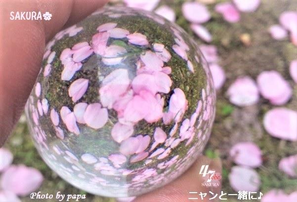 sakurapapa506cb (2)