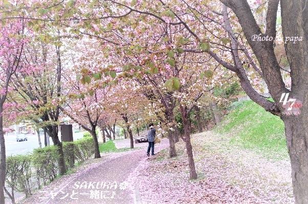 sakurapapa506m (2)