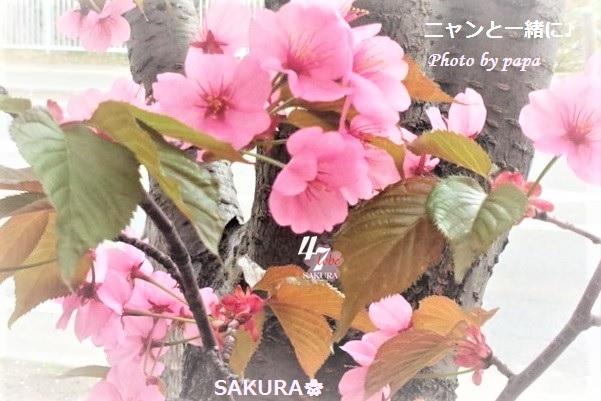 sakurapapa506h (2)