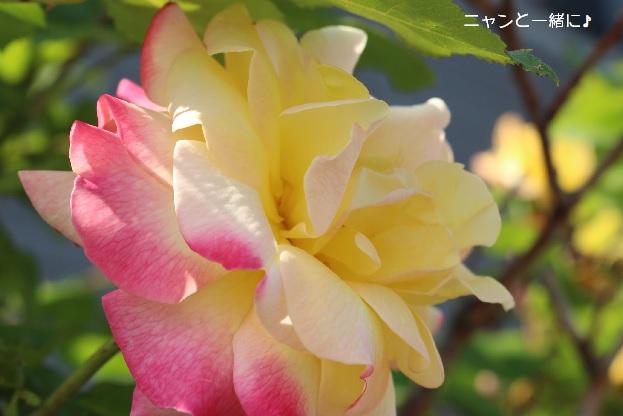 nisyokubara630.jpg