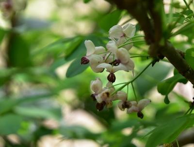 170503アケビの花 (2)